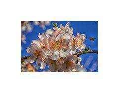 Ramillete de flores de almendro