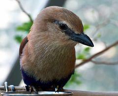 rampenvogel