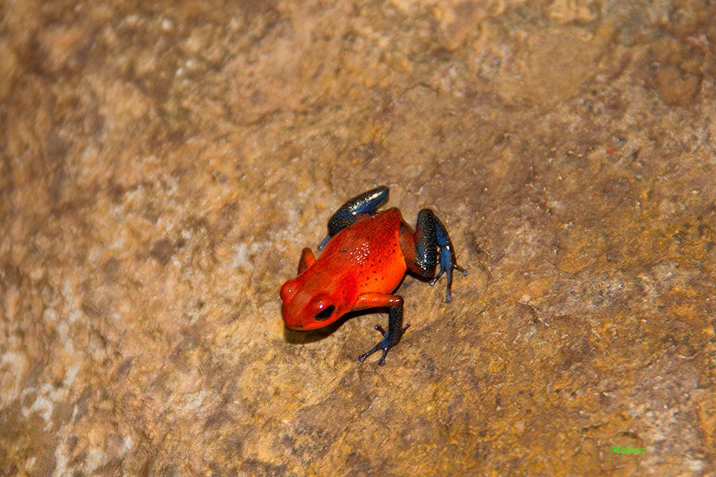 Rana flecha roja y azul.