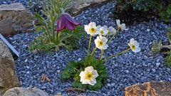Ranunculus alpestris - Alpenhahnenfuß in meinem Alpinum