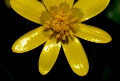 Ranunculus ficaria (Celidonia menor)