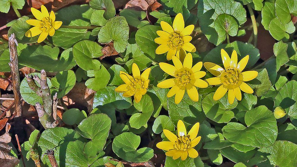 Ranunculus ficaria- Gewöhnliches Scharbockkraut...