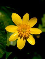 Ranunculus ficaria II