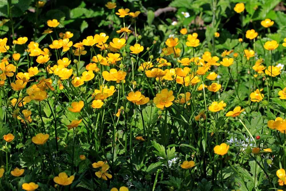Ranunculus serpens - Marienkäfer-Suchbild