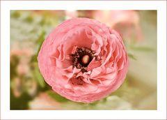 Ranunkel in rosa