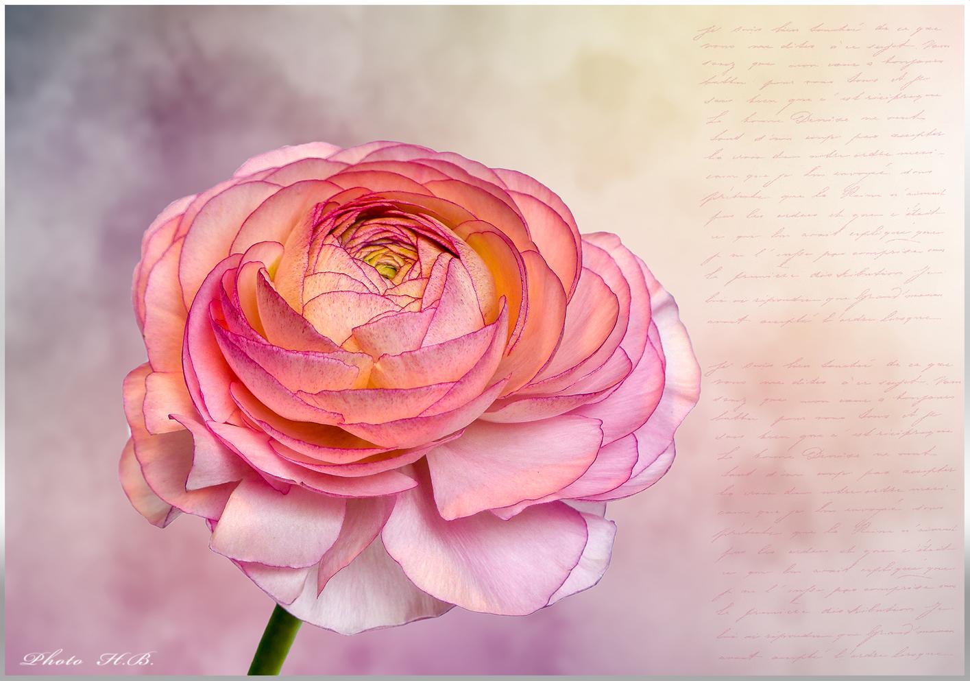 RANUNKEL - Rose des Frühlings