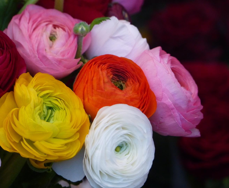 RANUNKELN Foto & Bild   pflanzen, pilze & flechten, blüten