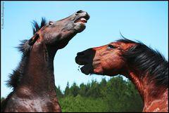 Rapa das Bestas - Loita de Garañóns (Corte de crines - Lucha de caballos Jefes de manada)
