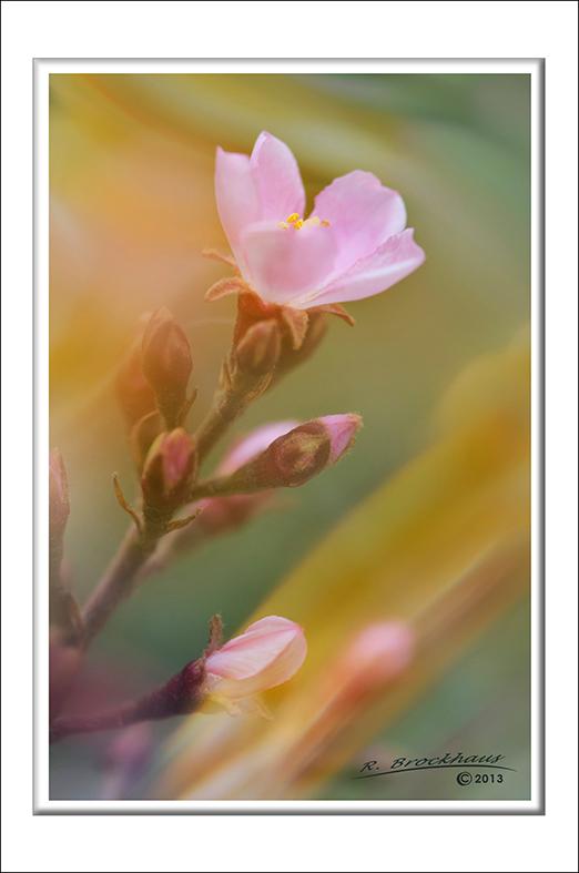 """Raphiolepis indica """"Springtime"""""""