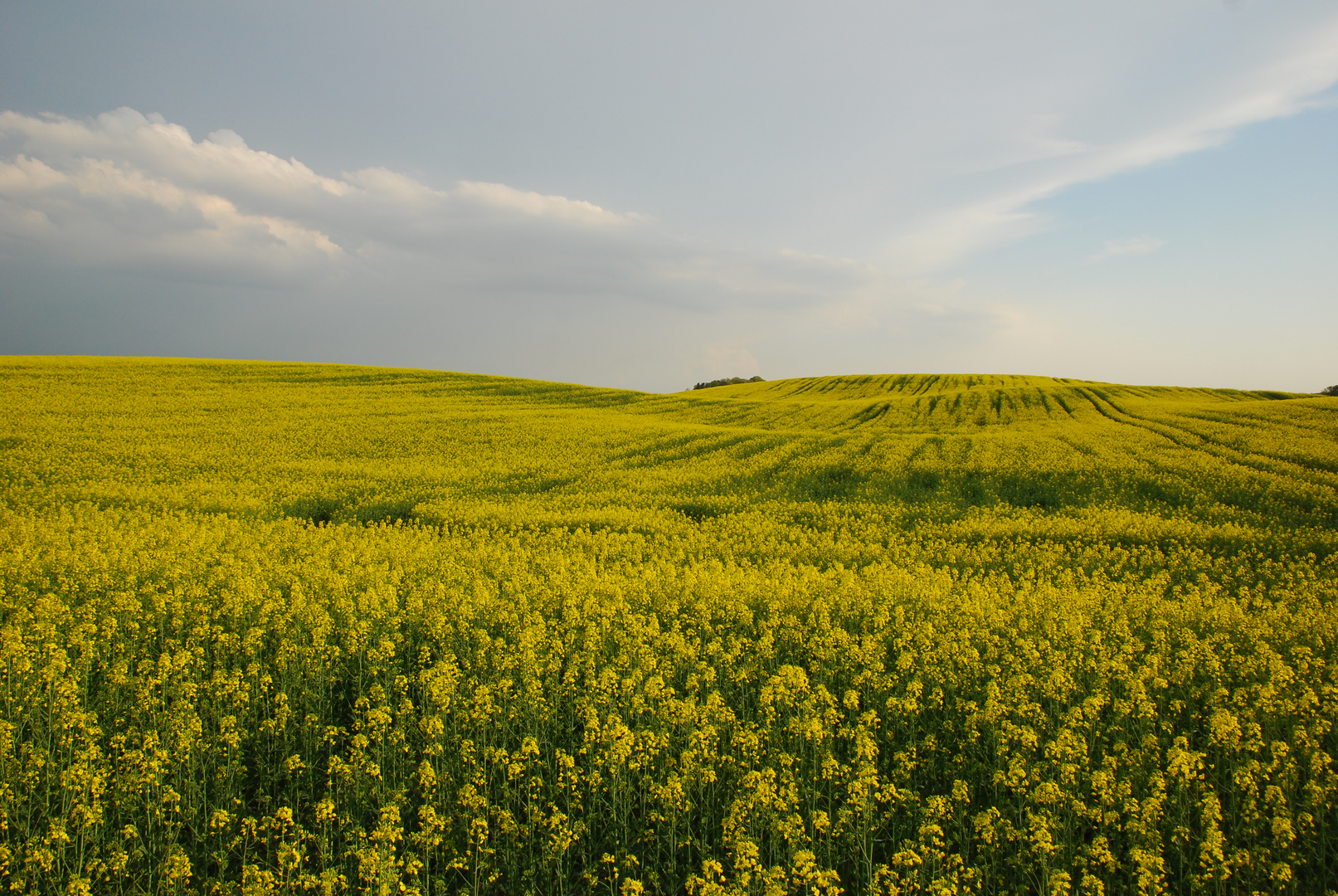 Rapsfeld in der Uckermark 3