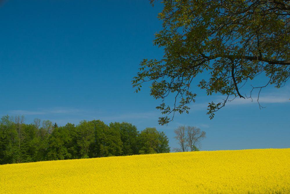 Rapsfeld mit tief blauem Horizont