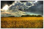 Rapsfeld unter dunklen Wolken