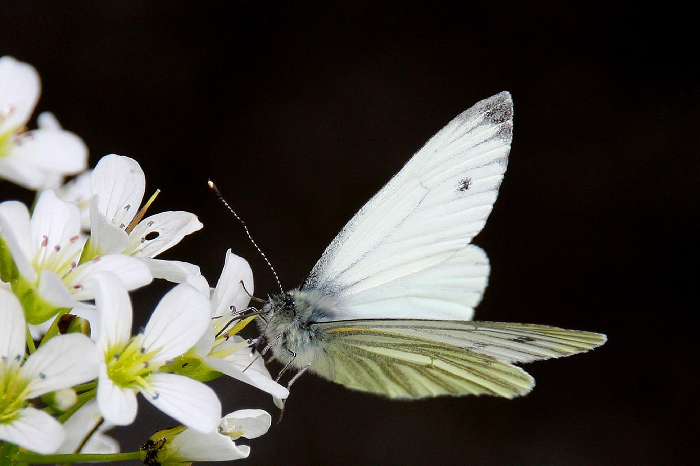 Rapsweissling oder Green-veined White (Pieris napi)