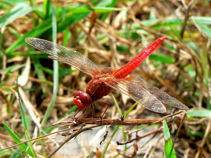 Rare red dragonfly