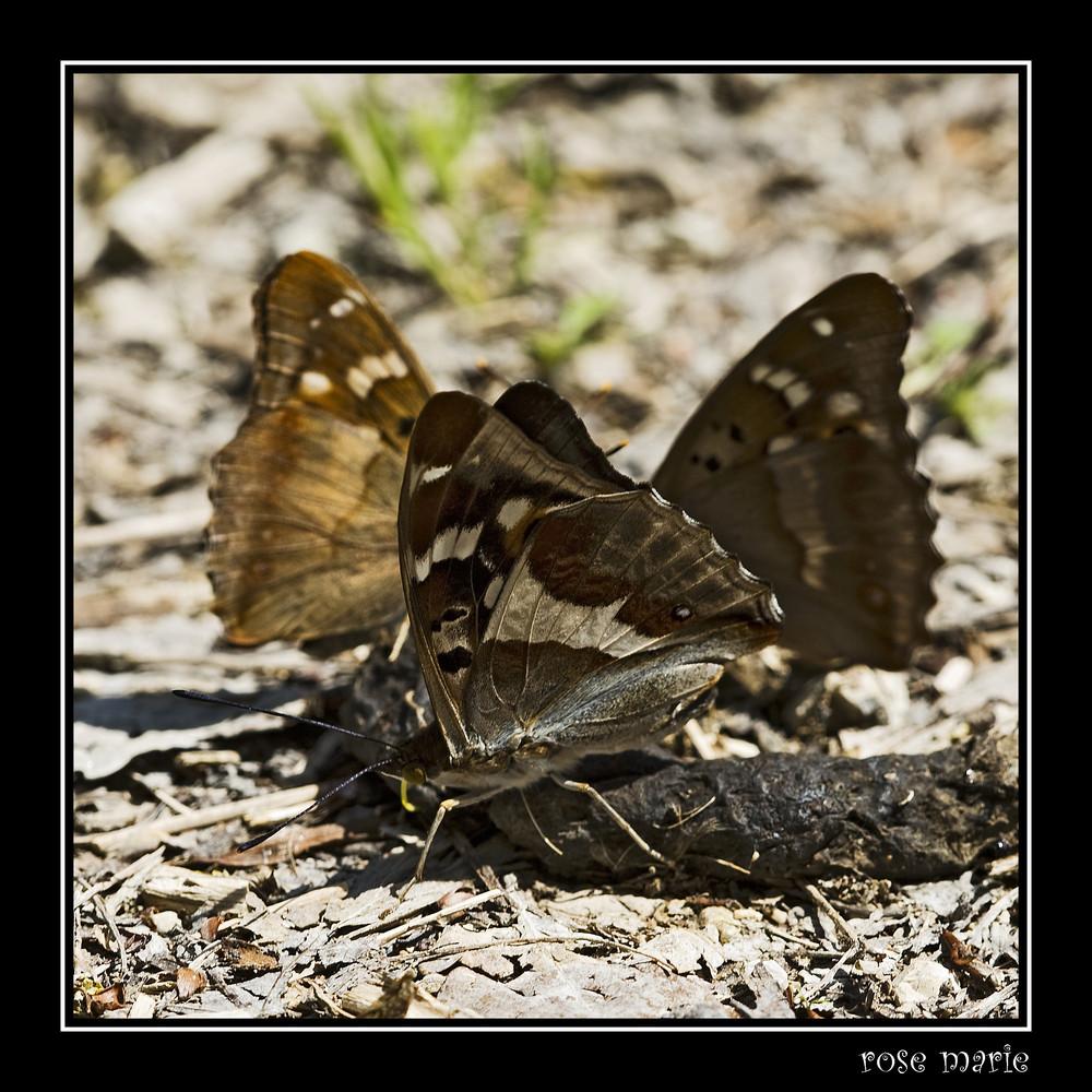 rassemblement de papillons