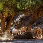 Rast der Wüstenelefanten