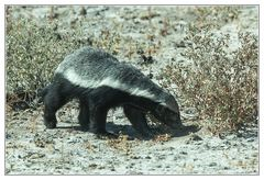 Ratel, Honey badger, Honigdachs
