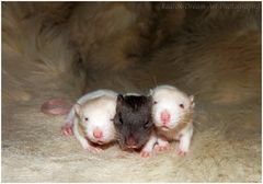 """Rattenbabies, 13 Tage alt"