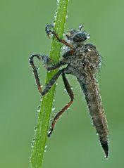 Raubfliege (Machimus atricapillus)