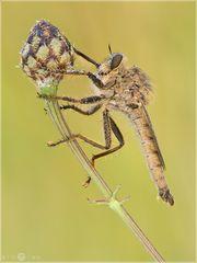 Raubfliege - Machimus rusticus (Männchen)