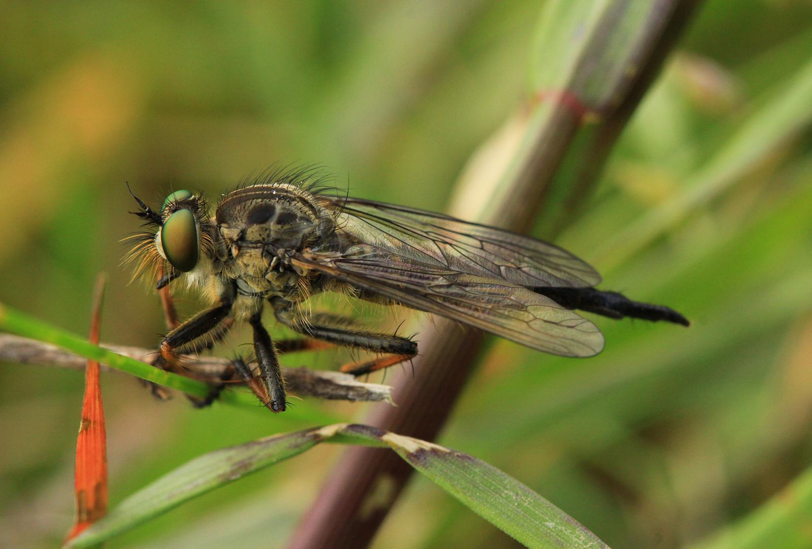 Raubfliege Neoitamus cyanurus - Weibchen