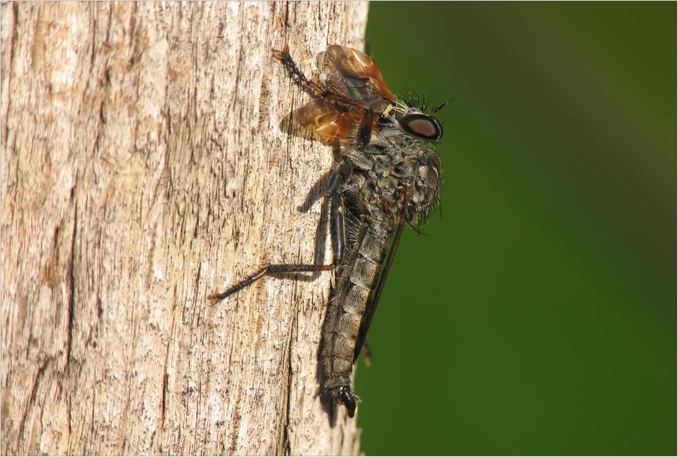 Raubfliegen Fütterung