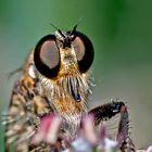 Raubfliegen-Porträt - Face à face avec une mouche...