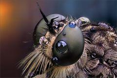 raubfliegen_eye_solo