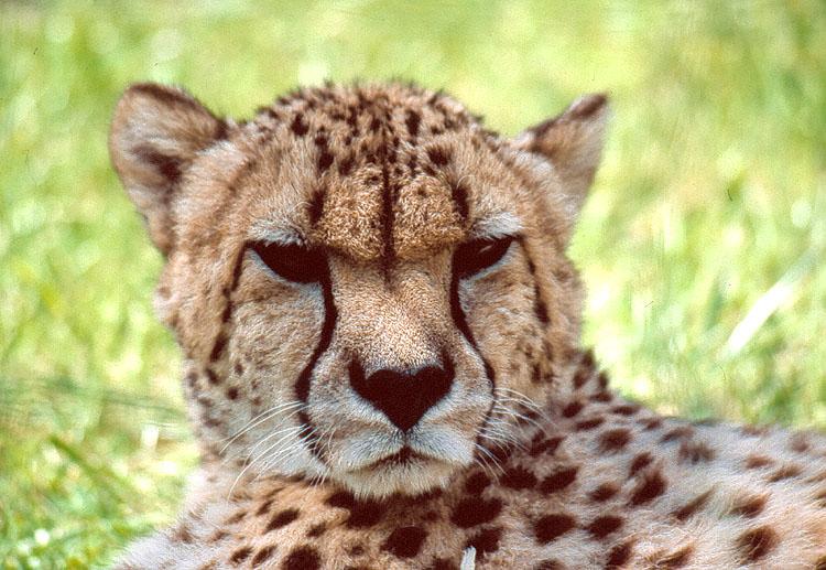 Raubkatze in Blick - Gepard