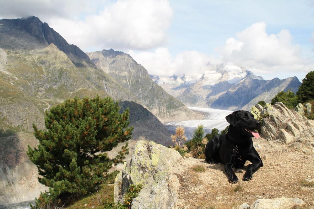 Raubtier vor dem Aletschgletscher