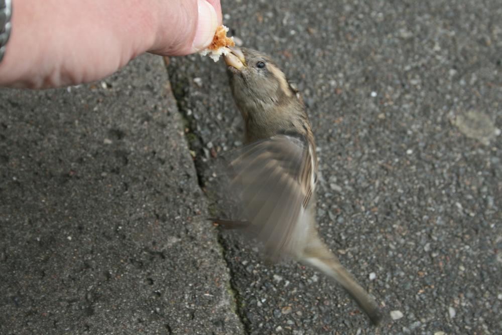 Raubtierfütterung - Dänischer Spatz