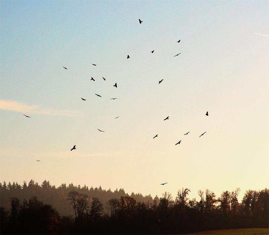 Raubvögel auf der Jagd