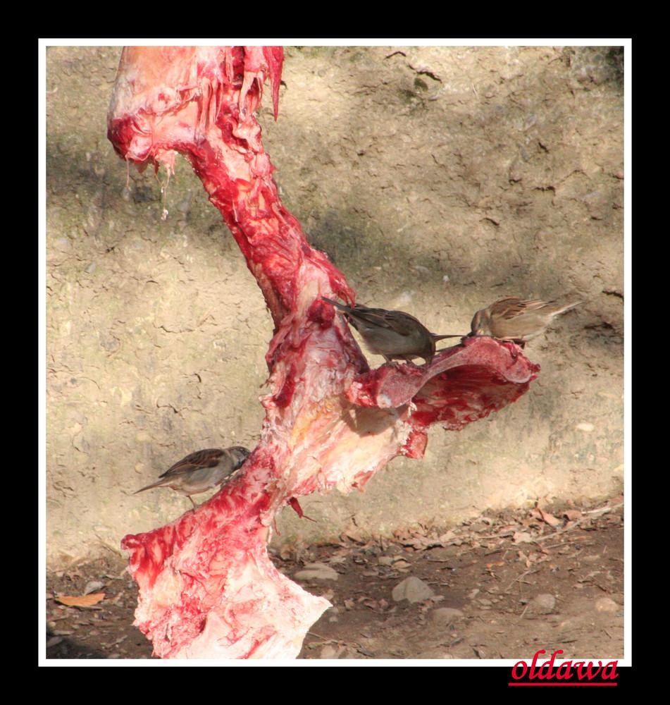 Raubvögel bei der Fütterung