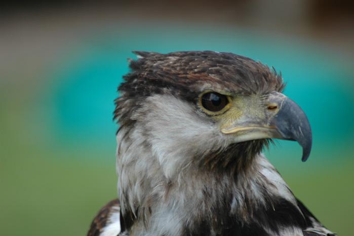Raubvogel 1
