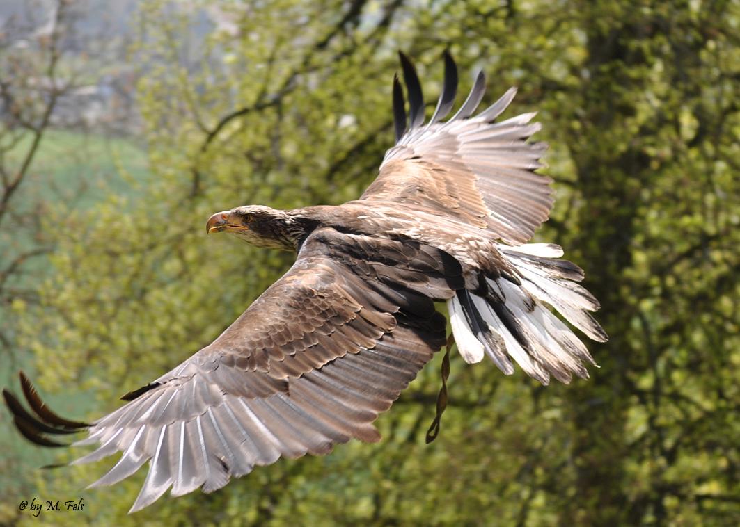 Raubvogel