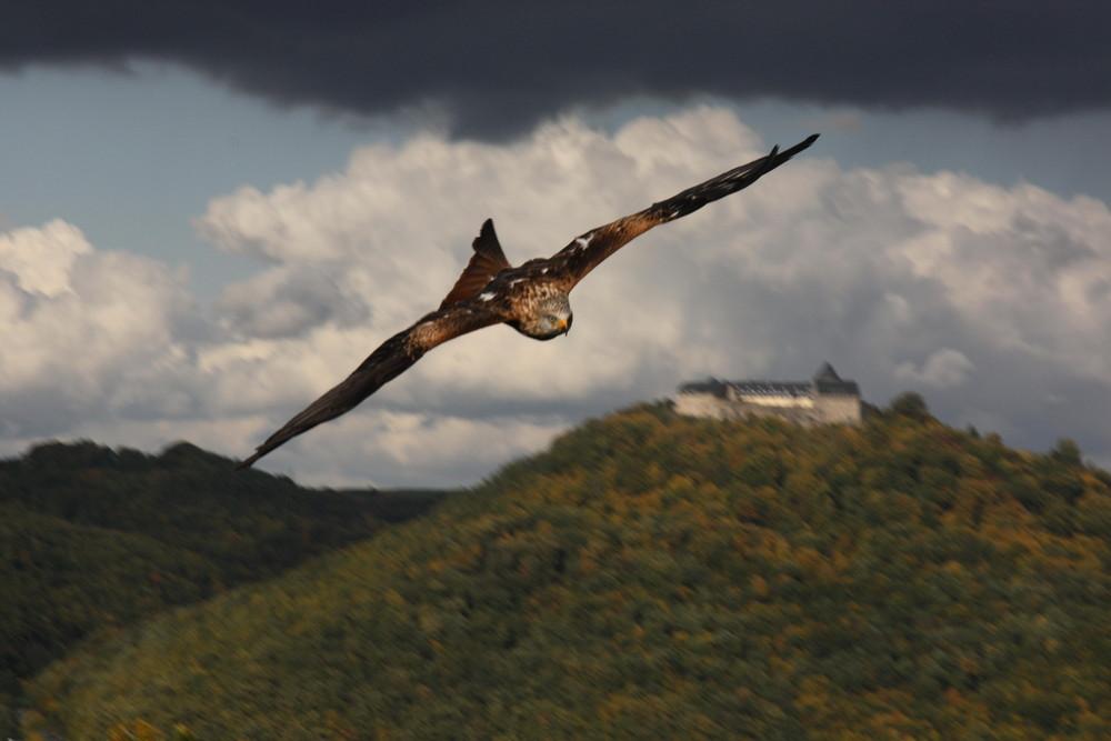 Raubvogel im Anflug