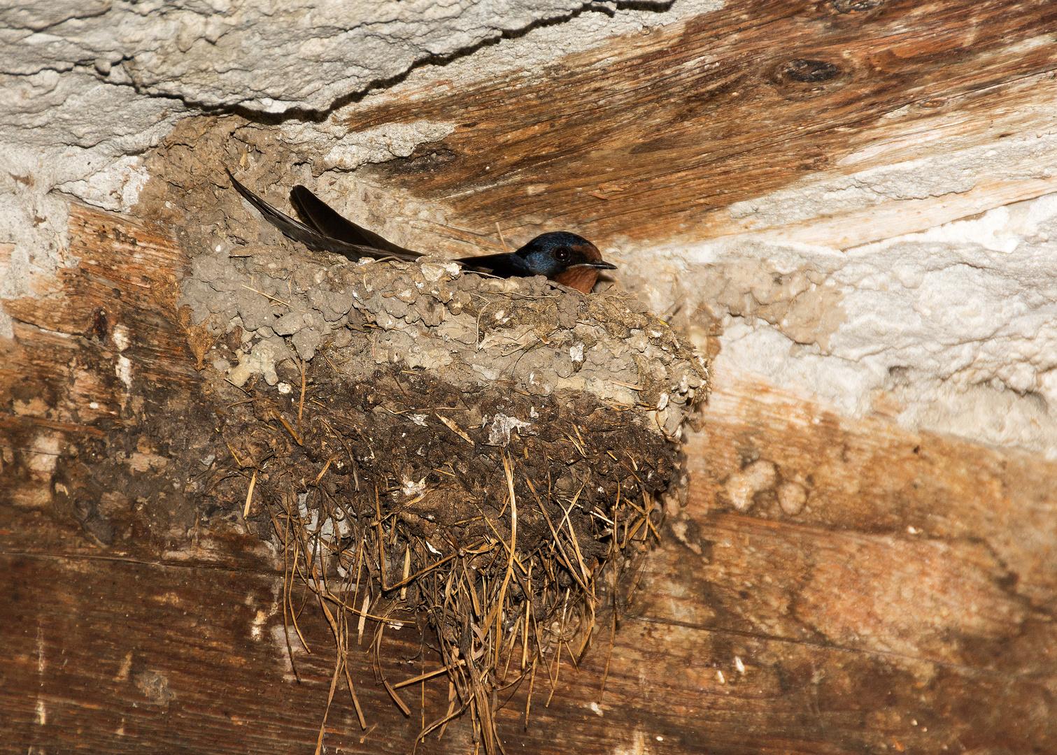 Rauchschwalbe im Nest