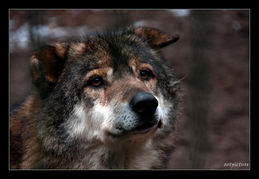 ...raufen gehört auch zum Leben eines Wolf...