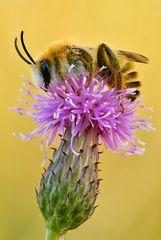 rauhfüßige Hosenbiene #3