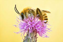 rauhfüßige Hosenbiene