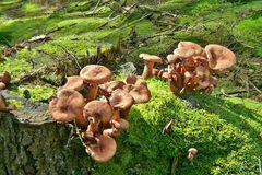 Raukopf-Pilze