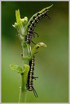 Raupe des Tigerfalter (Danaus chrysippus)