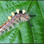 -Raupe eines Schlehenbürstenspinners (orgyia antiqua)