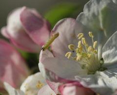 Raupe Nimmersatt besucht eine Apfelbaumblüte