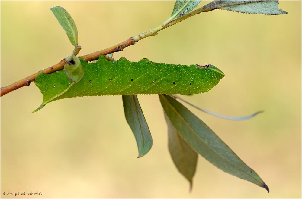 Raupe vom Abendpfauenauge (Smerinthus ocellata) 2