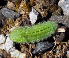 Raupe vom Brombeerzipfelfalter (Callophrys rubi)