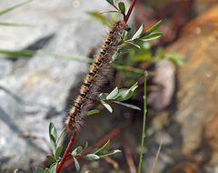 Raupe vom Eichenspinner (Lasiocampa quercus) - Chenille du Bombyx du chêne.