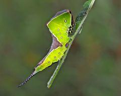 Raupe vom Grossen Gabelschwanz (Cerura erminea) - La belle chenille de l'Hermine.