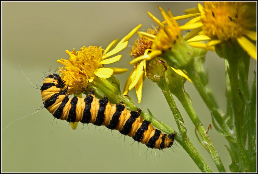 raupe vom jacobskrautb r foto bild tiere wildlife insekten bilder auf fotocommunity. Black Bedroom Furniture Sets. Home Design Ideas