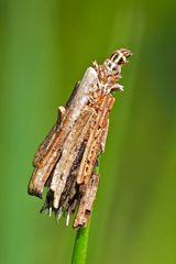 Raupe vom kleinen Rauch-Sackträger (Psyche Casta) - Une Chenille de Psychidae dans son fourreau.